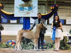 for sale Congress Grand Champion Futurity Halter Stallion mini horse Valhalla Farms