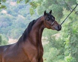 Valhalla Farm mini horse champion Stallion Justified An (Hof)