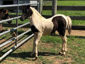for sale miniature horse champion Valhalla Farms