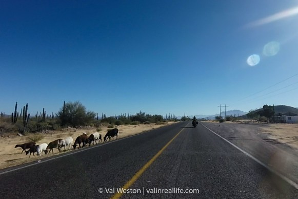 goats in baja - val in real life