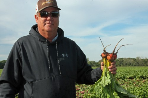 Organic farmer Mark Miller holds gold beets grown at Tenaza Farms