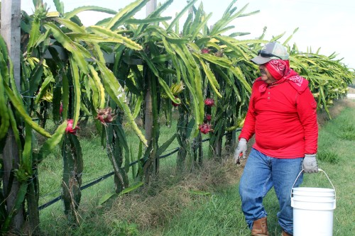 A worker checks on the pitaya vines that are grown in rows similar to a grape vineyard. (VBR)