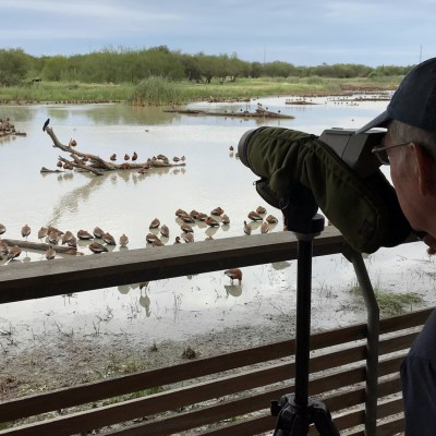Thousands of black-bellied whistling ducks visit Ibis Pond at Estero Llano Grande State Park every winter, attracting birders visiting the Rio Grande Valley. (VBR)
