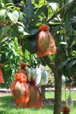 Mangoes wrapped with cloth at Paradise Garden to stop bugs and birds from eating them.