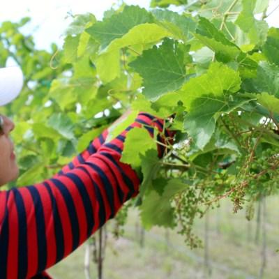 Melissa Delgado tends to grapes at her Los Fresnos-area farm.