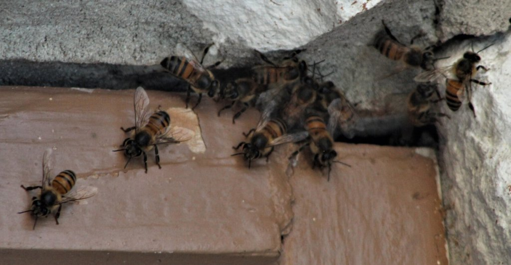 Bees come out of a hole on a wall.