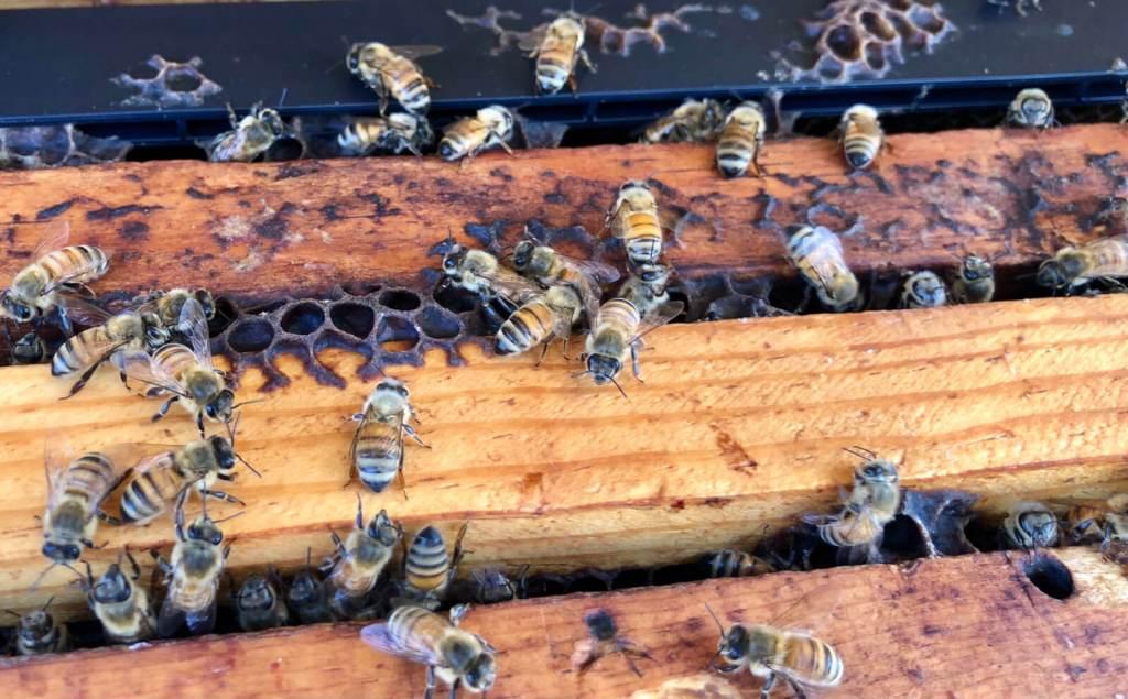 Busy bees work at Lozar Apiaries in Edinburg.