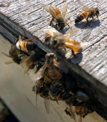 Bees make their way out of boxed hive at Lozar Apiaries.