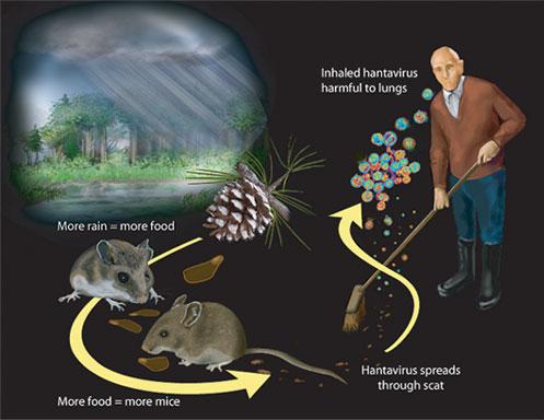 Despite Yosemite Scare, Deer Mouse-Borne Hantavirus Infection Rare ...
