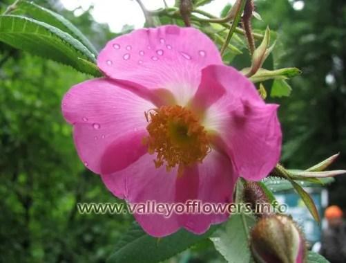 Rosa Macrophylla, in valley of flowers