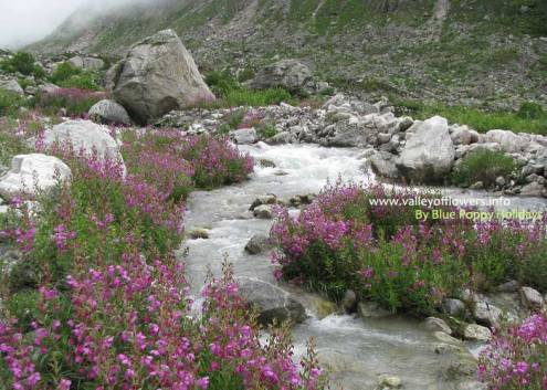 Epilobium Latifolium on the bank of a beautiful stream inside the Valley of Flowers.