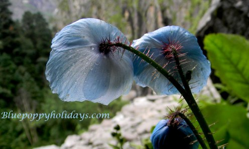 Blue Poppy on the way to Valley of Flowers