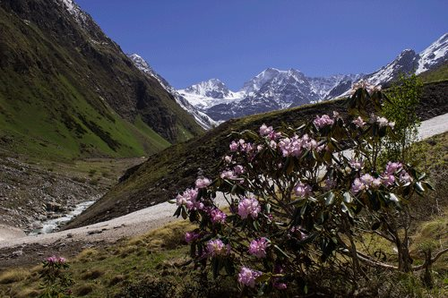 Rhododendron flowers in the valley of flowers. Tipra Glacier can be seen in the background