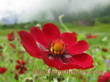 Vajardanti in valley of flowers (2)