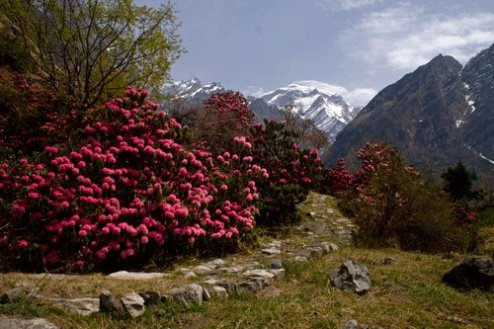 Rhododendron flowers near Bhyuandar Village and Hathi peak in background