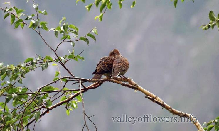A pair of Spotted Dove (Streptopelia chinensis)