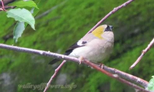 Bullfinch-Female (Pyrrhula erythrocephala)