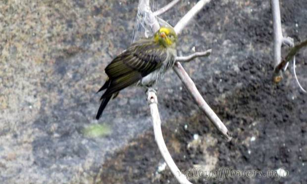 Yellow-rumped Honeyguide (Indicator xanthonotus)