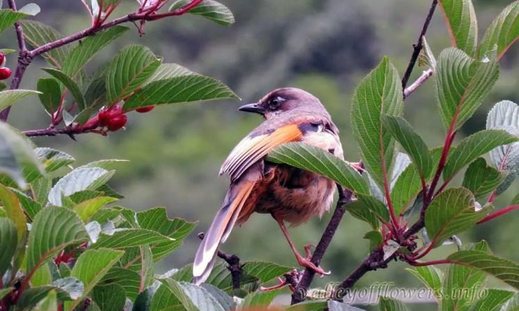 Birds found in Valley of Flowers