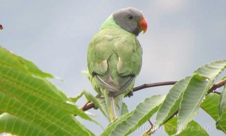 Slaty headed Parakeet (Psittacula himalayana)
