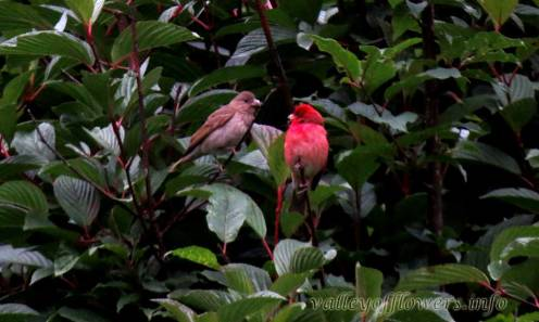 Male and Female Common Rosefinch (Erythrina erythrina)