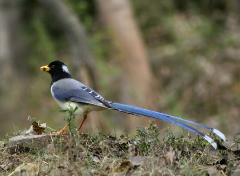 Gold billed Magpie (Urocissa flavirostris)