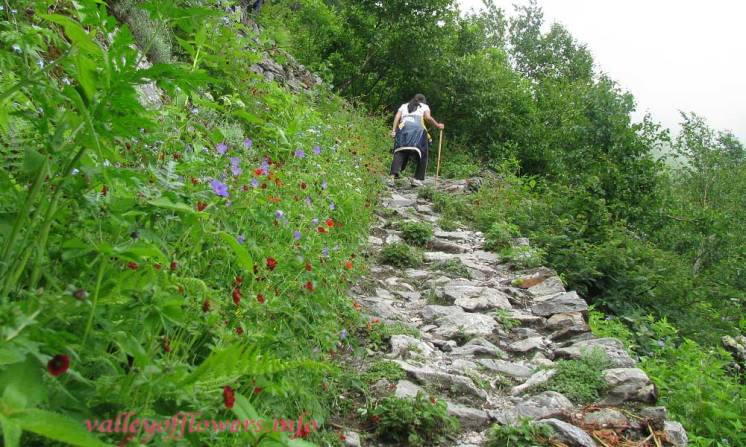 Flowers on both side of the trek, you can see Potentilla and Geraniums on left side.