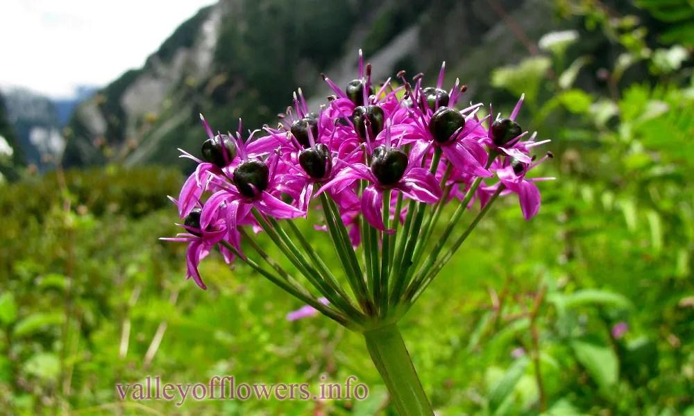 Allium wallichii