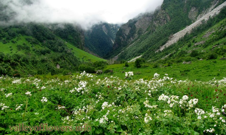 Colony of Anemone tetrasepala in Valley of Flowers