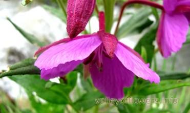 Epilobium latifolium