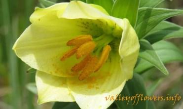 Lilium oxypetalum