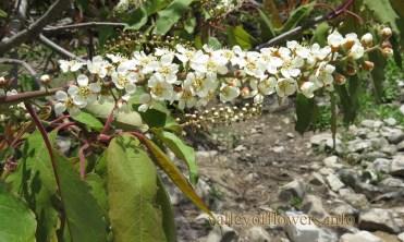 Mianthemum purpureumMianthemum purpureum
