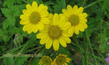 Senecio laetus in Valley of Flowers