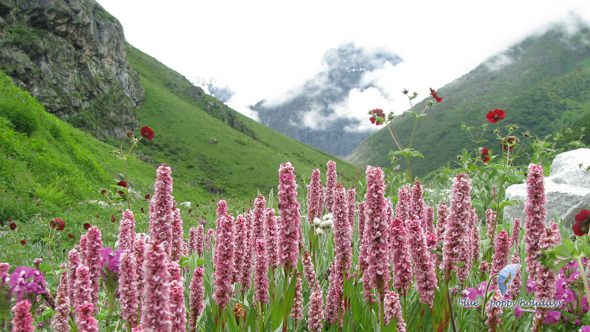 Valley of flowers in July