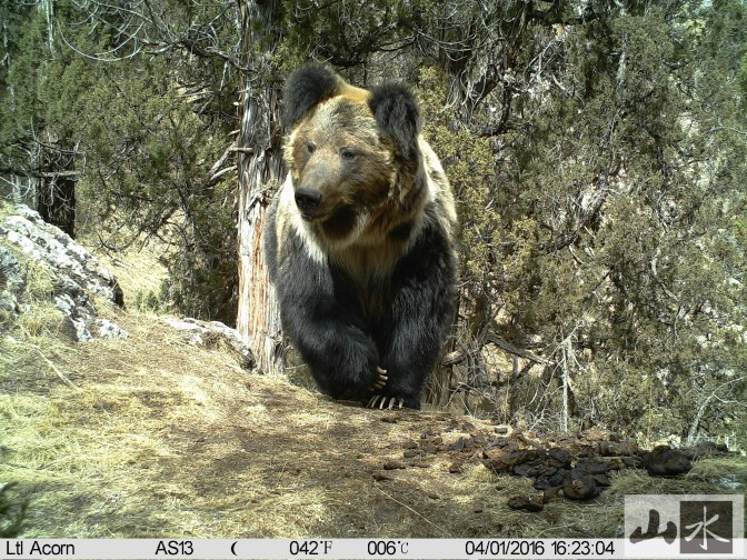 brown bear camera trap