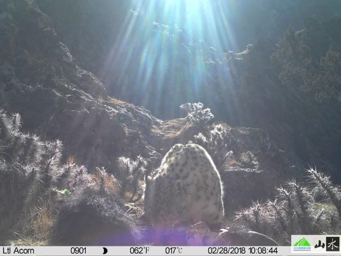 Snow Leopard with sun rays