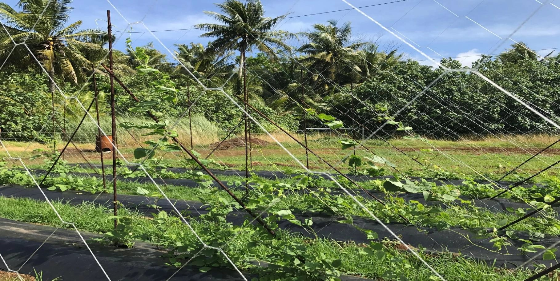_plastic mulching winged beans and drip irrigation,plastic mulching watermelon, Valley of the Latte, Guam Tours, Best tours on guam, things to do on guam, カヤック , 旅行 , ファインダー越しの私の世界 , 写真好きな人と繋がりたい , インスタ映え , スタンドアップパドル , 冒険 , 観光 , リゾート , 夏 , 夏休み , 休暇 , 文化 , 家族旅行 , アー , ビーチ , パラダイス , グアム , 島 , 天気 , グアム旅行 , 海外 , 海外旅