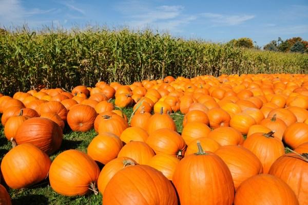 pumpkin patch corn field