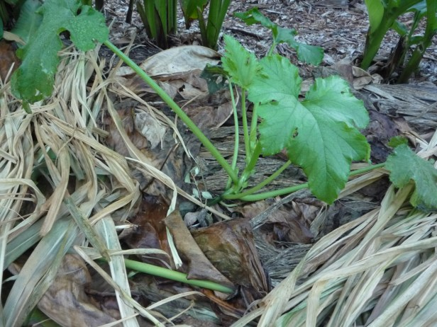 Arrowroot (and bana grass) chop and drop - a free mulch you can grow