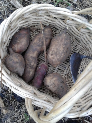 Harvest of one plant of yacon... There's more than one kilo of that crispy root!
