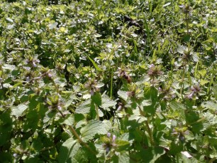 The importance of weeds in the garden... they feed the bees when no other plants are flowering yet.
