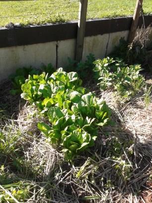 An abundant crop of cos lettuce on a double-dug bed