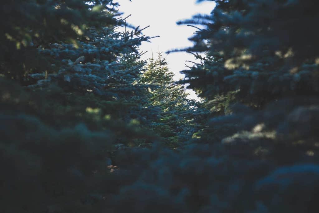 Gilbert Christmas Tree Lot Grand Fir