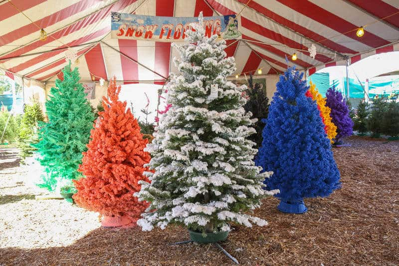 Where Did Christmas Trees Originate.Queen Creek Christmas Trees Valley View Christmas Trees
