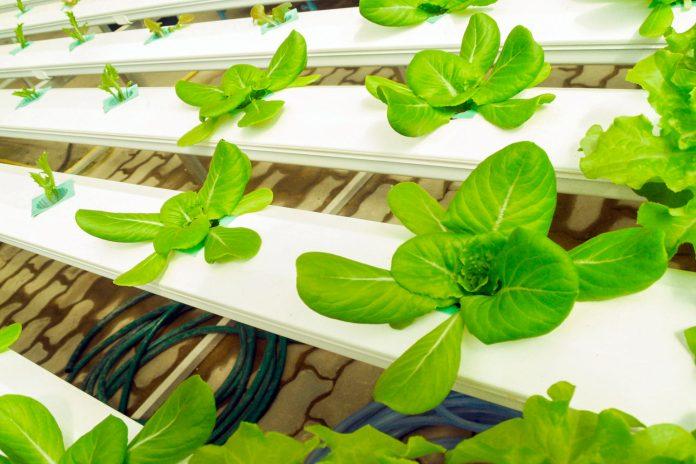 Hidroponia, el cultivo del futuro