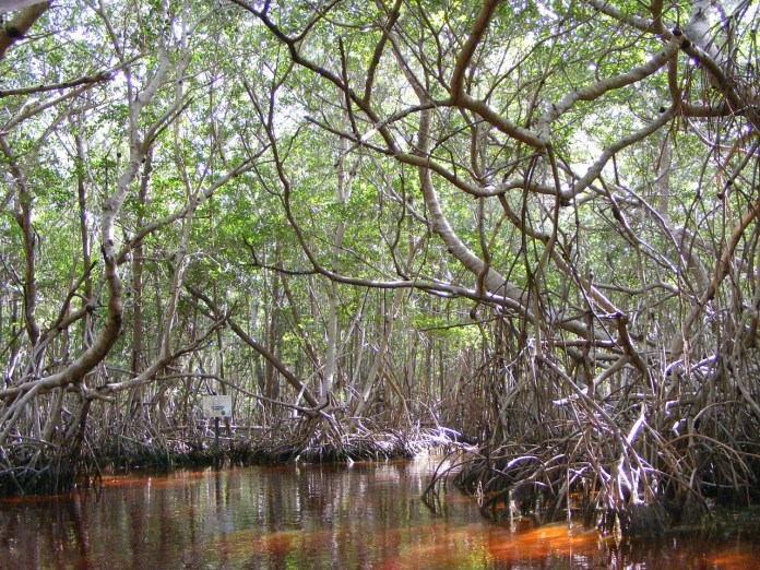 Bosques de mangle, aliados clave para hacer frente al cambio climático