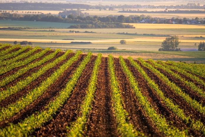 Se incrementa el 36% de rentabilidad en 225 productores de maíz amarillo beneficiados por Kellogg y CIMMYT
