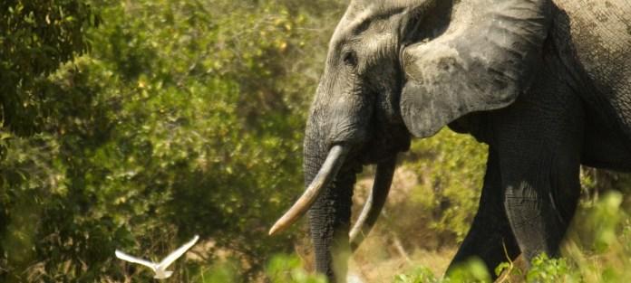 Los elefantes africanos, cada vez más amenazados por la caza ilegal