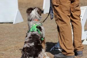 australian shepherd obedience training boise idaho