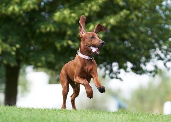 hound dog off leash training